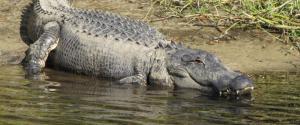 Gator smiling in water Myakka River SP_1